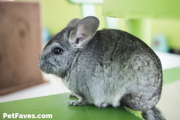 grey chinchilla sitting on green counter waiting for chinchilla subscription box