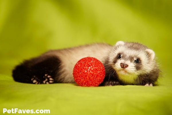 brown ferret with red ball waiting for a ferret subscription box