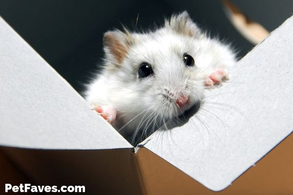 white hamster sitting in a hamster subscription box