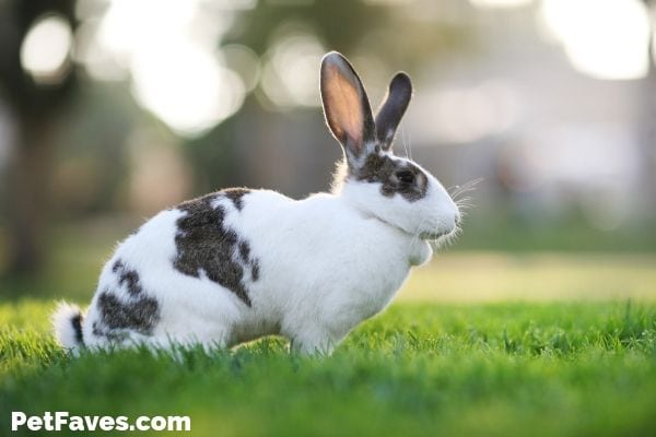 black and white bunny waiting for a bunny subscription box