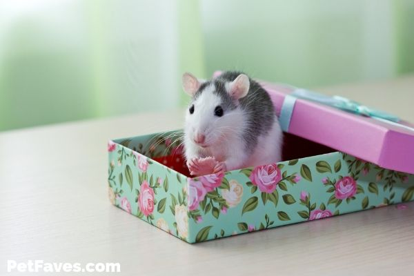 grey and white rat sitting in a colorful rat subscription box