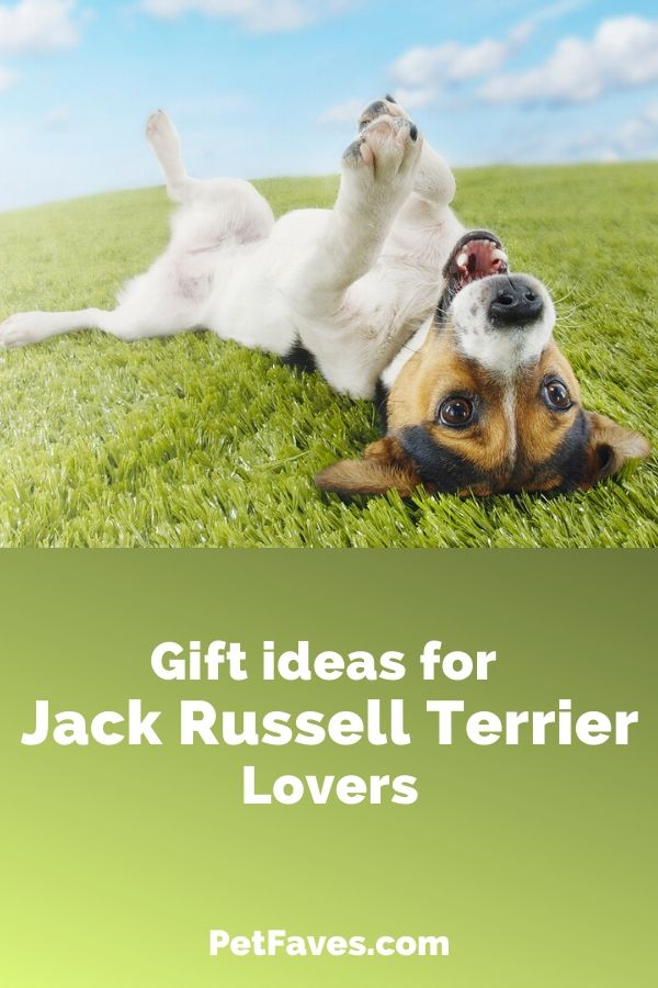 fun Jack Russell Terrier laying on his back in grass