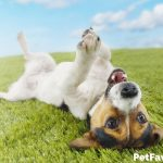 Jack Russell Terrier laying upside down on grass