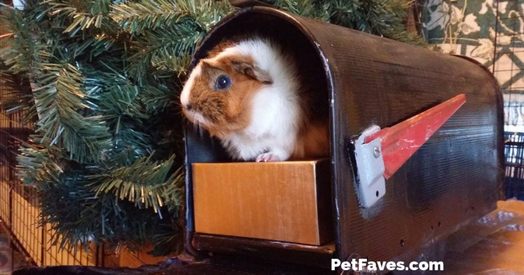 Guinea pig with subscription box inside a mailbox
