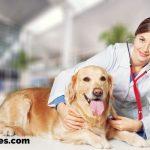 veterinarian with Golden Retriever