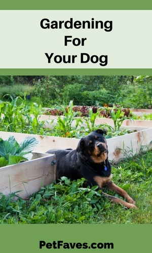 Rottweiler laying by raised bed vegetable gardens