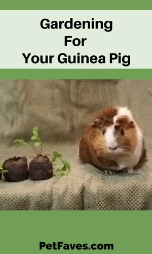 Guinea pig sitting next to seedlings