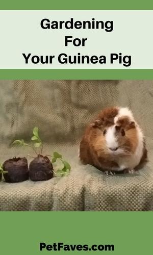 Guinea pig sitting next to seedlings