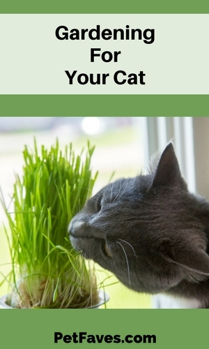 grey cat eating cat grass