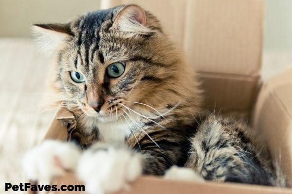 brown tabby cat playing in a cardboard box