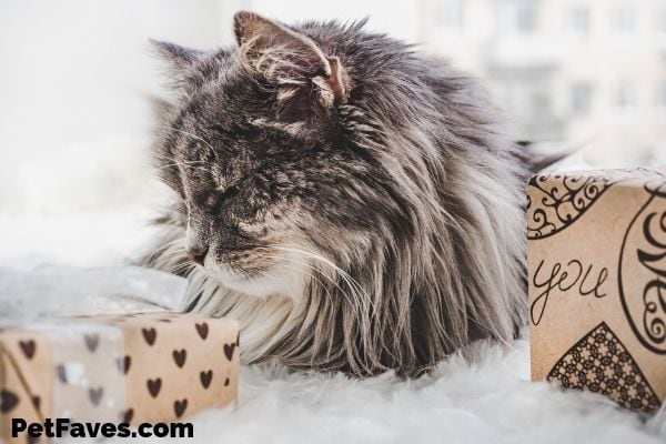 long hair gret cat laying by 2 subscription boxes