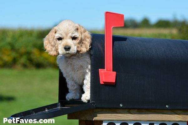Cocker Spaniel puppy in mailbox waiting for a pet subscription box