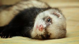 Ferret Love- Gifts for Ferret Lovers