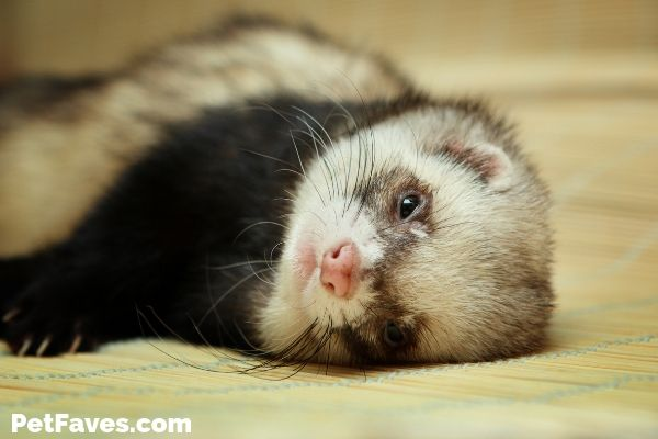 Ferret Love- ferret laying on his side