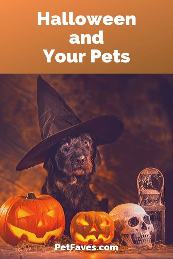 Dog wearing witch's hat surrounded by Halloween decorations