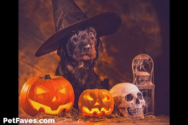 dog wearing witches hat surrounded by Halloween decorations