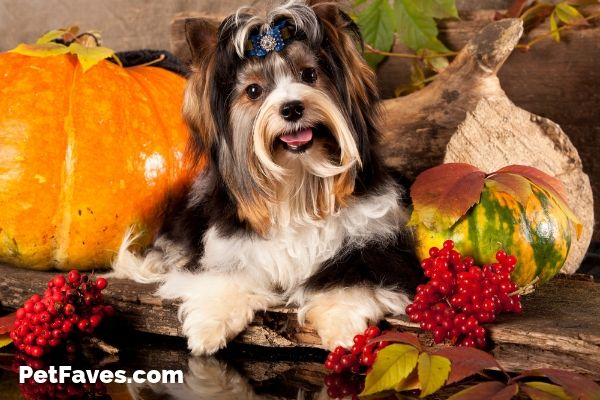 Black and white Shih Tzu with pumpkins and fall flowers