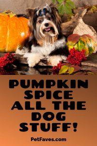 black and white shihtzu dog with pumpkins