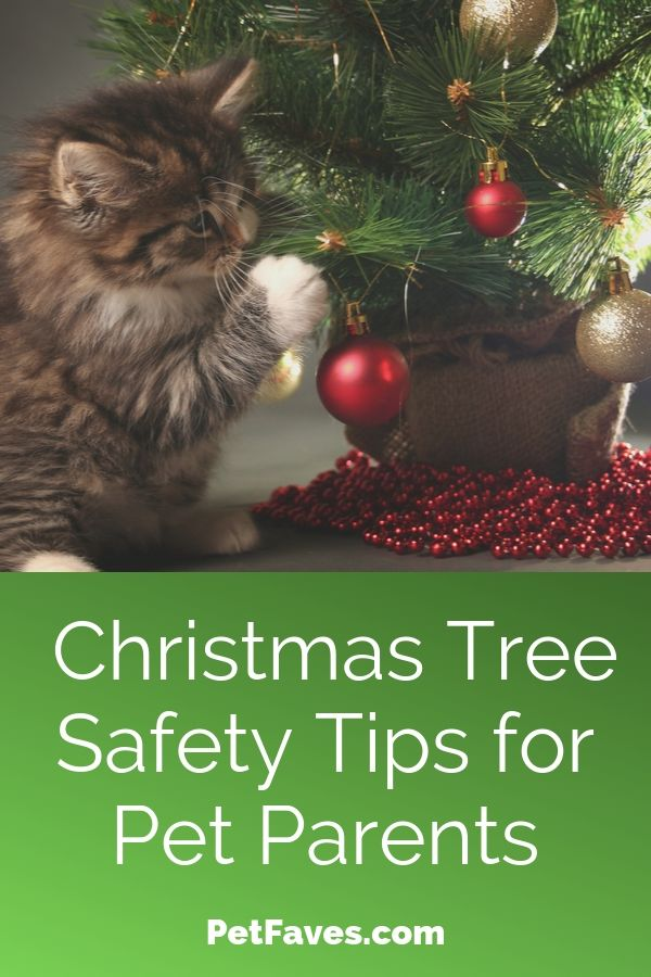 pet-proof your Christmas tree to keep   this brown tabby kitten pawing at a Christmas tree ornament